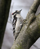 Downy woodpecker. Bird (downy woodpecker) perched on a branch Royalty Free Stock Images