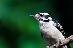 Downy Woodpecker Against a Green Background Royalty Free Stock Image