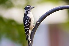 Downy Woodpecker. At a backyard feeder Royalty Free Stock Photos
