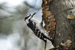 Downy Woodpecker bird pecking tree. Downy Woodpecker on a lichen covered tree in winter in Walton County, Georgia. The downy woodpecker Dryobates pubescens is a royalty free stock photos