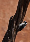 Downy Woodpecker bird on tree Royalty Free Stock Photo