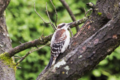 Downy woodpecker on a branch Stock Images