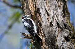 Downy Woodpecker Building Its Home Royalty Free Stock Photo