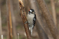 Downy Woodpecker. Clinging to a tree trunk Stock Images