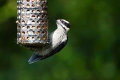 Downy Woodpecker Stock Image