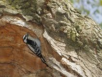 Downy woodpecker, Dryobates pubescens, searching insects inside tree. Royalty Free Stock Images