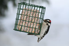 Downy Woodpecker Eating Suet Cake. A male Downy Woodpecker eating from a suet cake during winter in Littlefork, MN Royalty Free Stock Images