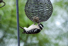 Downy Woodpecker eating at suet feeder, Athens, Georgia. Downy Woodpecker eating at suet feeder, Picoides pubescens, backyard birding, Athens, Georgia stock photos