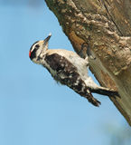 Downy Woodpecker, Eudocimus albus Stock Photo