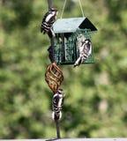Downy woodpecker family feeding Royalty Free Stock Images