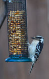 Downy Woodpecker and feeder Stock Photo