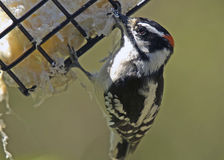 Downy Woodpecker at Feeder Royalty Free Stock Photography
