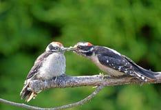 Downy Woodpecker feeding Baby on a Branch, Canada Royalty Free Stock Photos