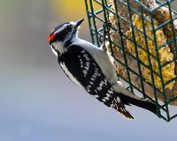 Downy woodpecker feeding. The downy woodpecker (Dryobates pubescens) is a regular guest at backyard suet feeders.  They are at home in open woodlands stock photo
