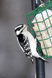 Downy Woodpecker. Feeding on Frozen suet in Illinois Stock Images