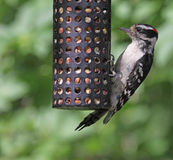 Downy Woodpecker Feeding Stock Photography