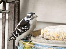 Downy Woodpecker. Feeding on a piece of suet cake Royalty Free Stock Photo