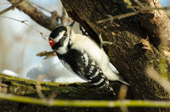 Downy woodpecker feeding Royalty Free Stock Images