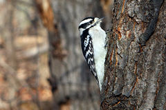 Downy Woodpecker Female. Perched On Side Of Tree In Sun Royalty Free Stock Images