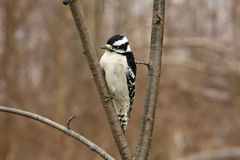 Downy Woodpecker Female. Perched On Branch Royalty Free Stock Image