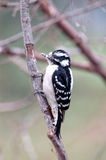 Downy Woodpecker(female). A female downy woodpecker clings to a tree branch royalty free stock image