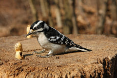 Downy Woodpecker Female. And Peanut On Stump In Morning Sun Royalty Free Stock Image
