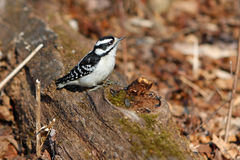 Downy Woodpecker Female. On Dead Log On Forest Floor Royalty Free Stock Photo