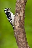 Downy Woodpecker Female Royalty Free Stock Image