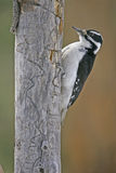 Downy Woodpecker female Stock Photo