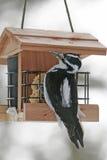 Downy Woodpecker female Stock Photography