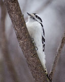 Downy woodpecker female. On a branch in winter Royalty Free Stock Images