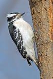 Downy Woodpecker. Female Downy Woodpecker  climbing a tree Stock Images