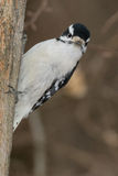 Downy Woodpecker Stock Images