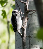 Downy Woodpecker Female Stock Photography