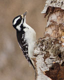 Downy woodpecker female Royalty Free Stock Images