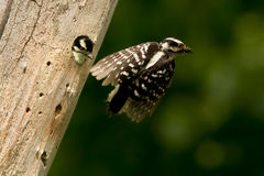 Downy Woodpecker in flight Stock Images
