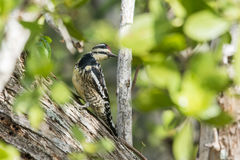 Downy Woodpecker. In Florida Everglades National Park Stock Photo