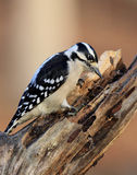 Downy Woodpecker. Foraging on a snag Royalty Free Stock Photography