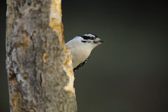 Downy Woodpecker Gaze. Woodpecker perched in natural setting Royalty Free Stock Photography