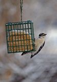 Downy Woodpecker Hanging On Stock Photography