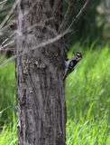 Downy woodpecker on the side of a Tree Royalty Free Stock Image