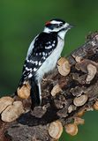 Downy woodpecker on log. A male downy woodpecker is sitting on a fungus covered log royalty free stock images