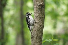 Downy woodpecker with lush green sunlit background. Royalty Free Stock Photos
