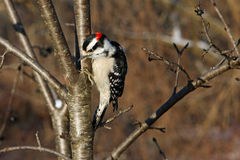 Downy Woodpecker Male. Perched On Side Of Tree In Sun Royalty Free Stock Images