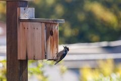 A downy woodpecker. Male downy woodpecker and homemade wooden birdhouse stock photography