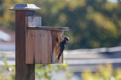 A downy woodpecker. Male downy woodpecker and homemade wooden birdhouse stock photos