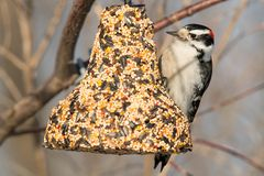 Downy Woodpecker. Male Downy Woodpecker, perched on a bell-shaped feeder, contemplating his choices. Humber Bay Park, Toronto, Ontario, Canada Royalty Free Stock Photo