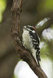 Downy Woodpecker Royalty Free Stock Photo