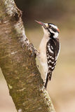 Downy Woodpecker (male). A downy woodpecker showing his long barbed tongue.  His tongue is used for pulling insects out from trees Stock Photography