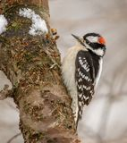 Downy Woodpecker Male. A male Downy Woodpecker on the side of a tree trunk during winter in Pennsylvania. Downy Woodpeckers are small versions of the classic stock photos